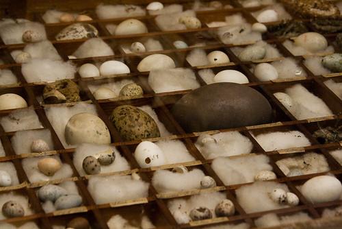 Beaty Museum - Eggs