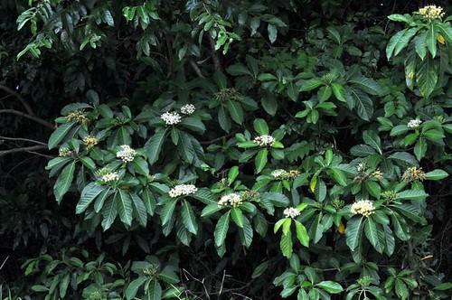 Tarenna dallachiana subsp. dallachiana