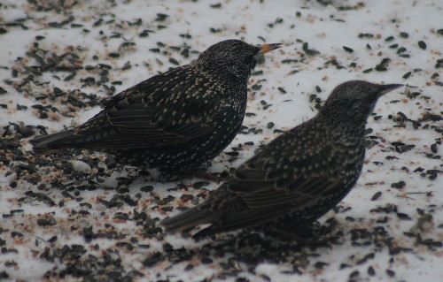 European Starlings - adult male and unknown