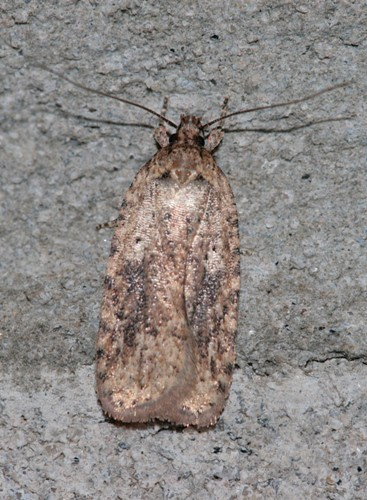 0867 - Agonopterix pulvipennella - Featherduster Agonopterix