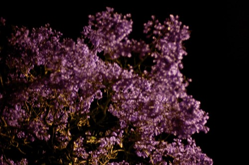 Jacarandah Blossoms in the Night Time