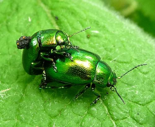 Dock Beetle.? Gastrophysa viridula.