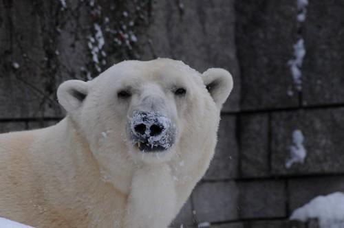 Eisbär Lars im Zoo Wuppertal