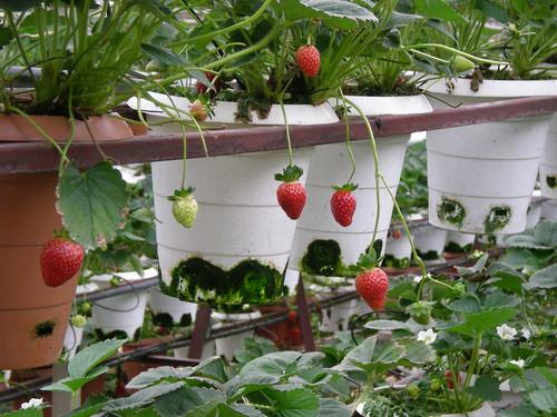 Cameron strawberries