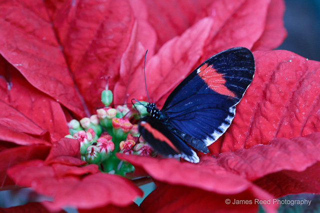 This butterfly enjoys a poinsettia flavored snack.