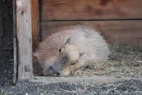 井の頭カピバラ Capybara
