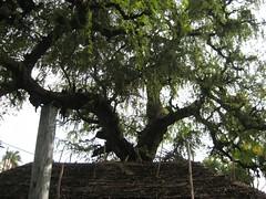 Brahma as Vanni Tree 1