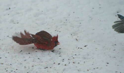 Northern Cardinal chasing off Blue Jay