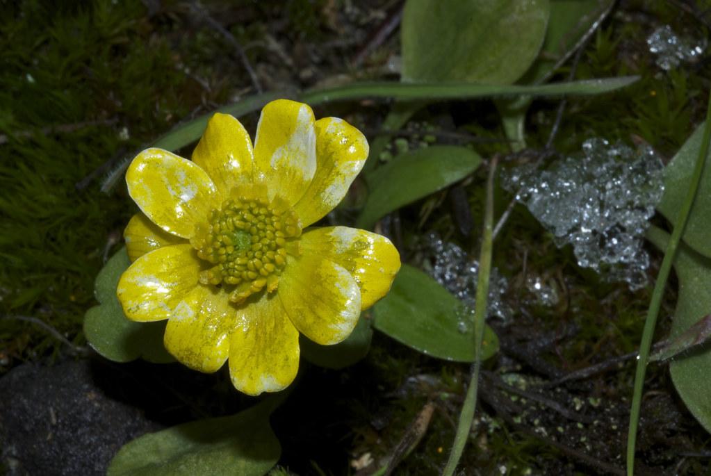 Sagebrush Buttercup