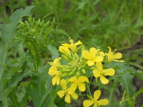 mizuna flower