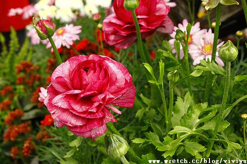 [旅遊.台北]2011陽明山花季~吹櫻花雪賞杜鵑 @VIVIYU小世界
