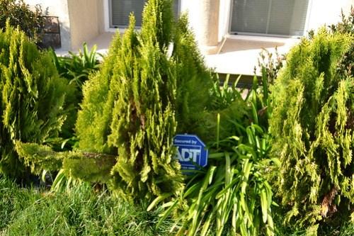 Overgrown junipers