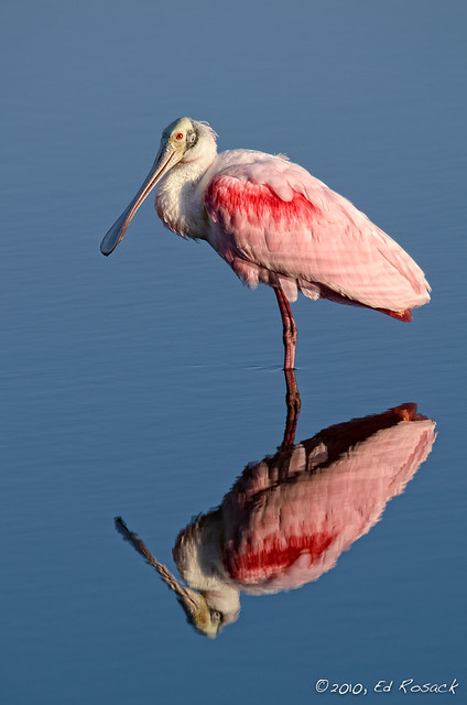 Spoonbill and reflection