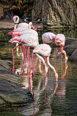 Flamencos rosados (Phoenicopterus ruber roseus)
