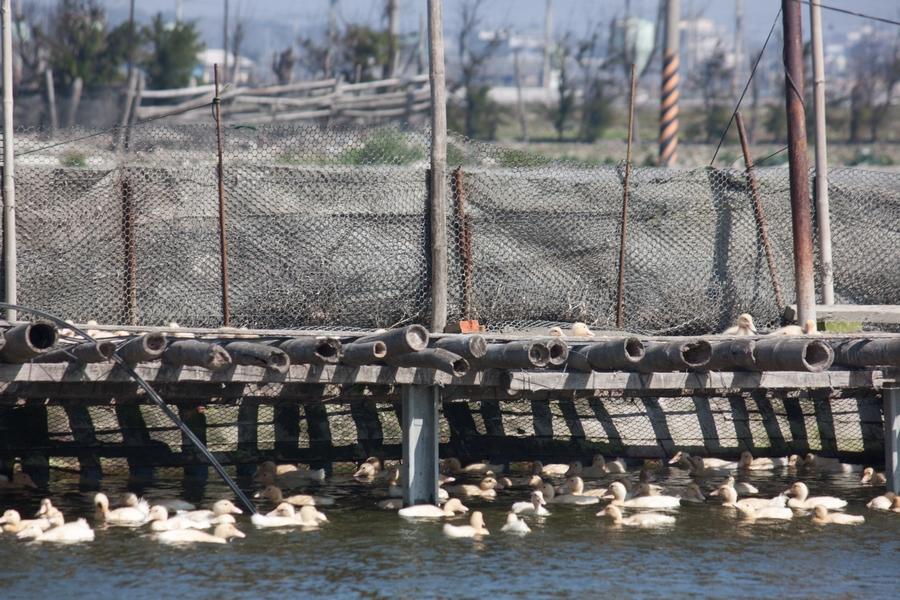20110205_07_Beautiful Duckling_15