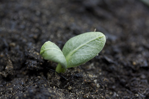 artichoke-emerges