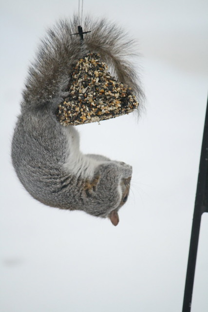 gray squirrel antics 4