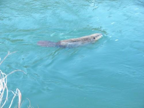 Rio Grande: Beavers