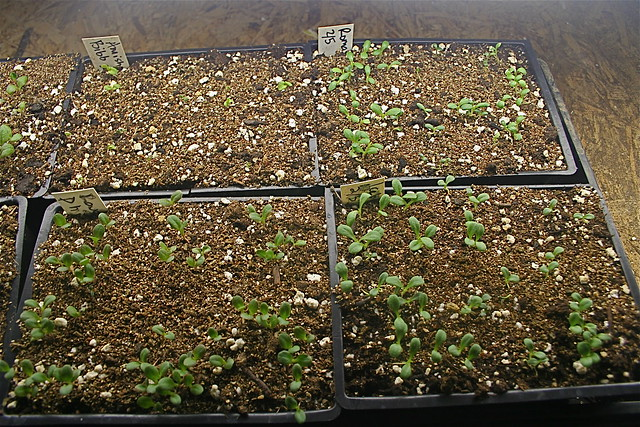 seedlings in flats