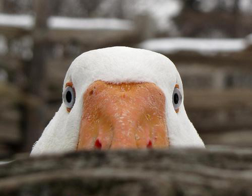 Peeking Duck