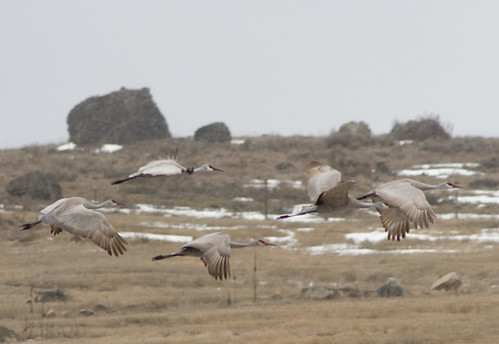 Sandhill Cranes along Cameron Lake Road in Okanogan County