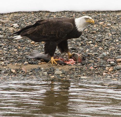 Bald Eagle eating a hatchery Steelhead along the Methow River