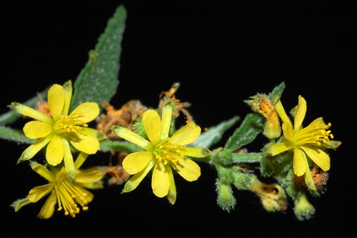 Triumfetta rhomboidea (Triumfetta Burr)