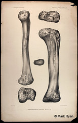 stegosauria_plate_XLVII
