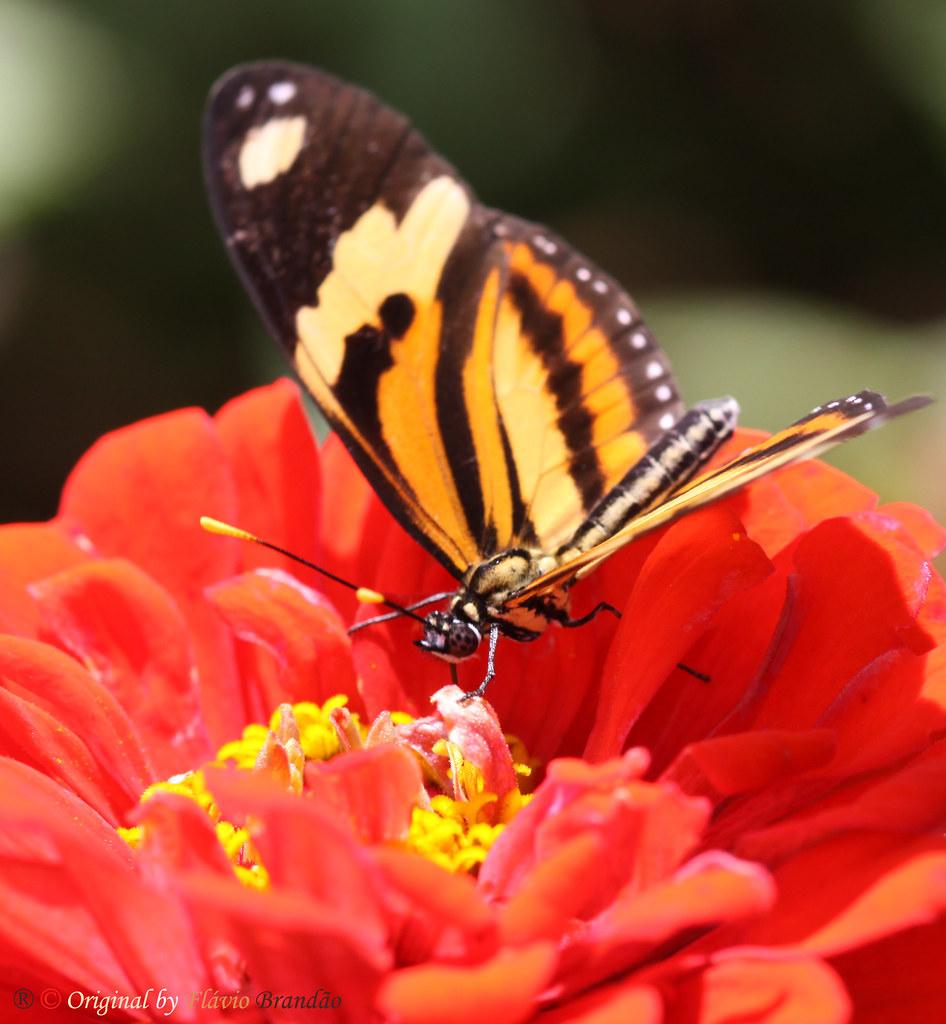 Flor e borboleta - Flower and butterfly - Borboleta Tigre, Tigrina ou Maria Boba (Mechanitis polymnia casabranca) - Polymnia Tigerwind - 27-02-2011 - IMG_7055
