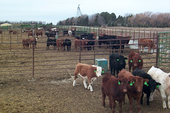 cattle_feedlot_01