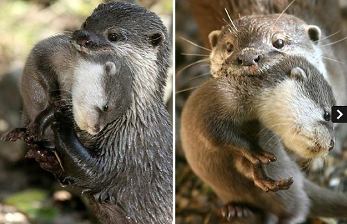 two pictures of adult river otters holdlng pups by their scruffs