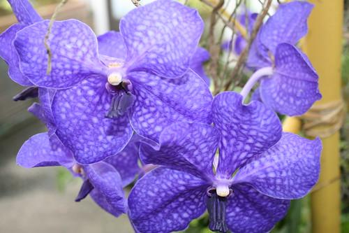 Very purple orchids