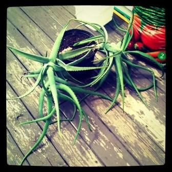 The monster of aloe vera plants.