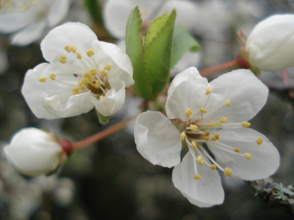 Spring Blackthorne