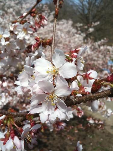 Cherry Blossom cluster - original
