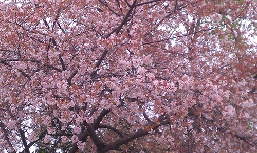 cherry blossoms in bloom!