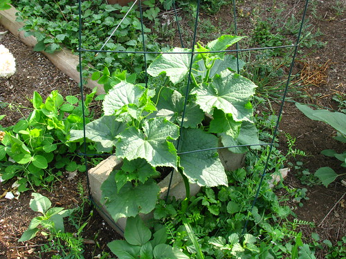 Cucumber bush