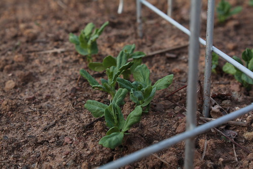 Sprouted Snow Peas