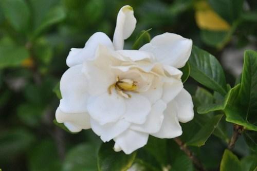 Gardenia Flower (D90)