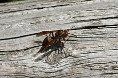 生田緑地のキボシアシナガバチ(Wasp, Ikuta Ryokuchi Park, Kawasaki, Kanagawa, Japan, 2011)
