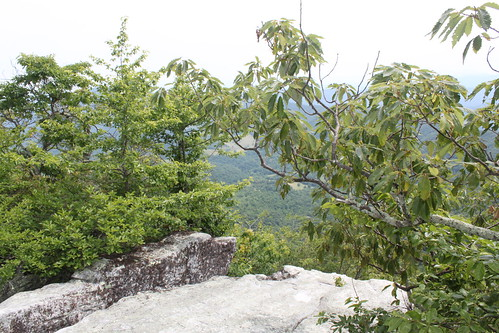 McAfee's Knob - Chestnut Oak AND Behind It-- Catkins Give Away American Chestnut