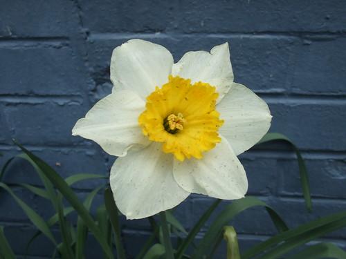 Snowy day daffodil