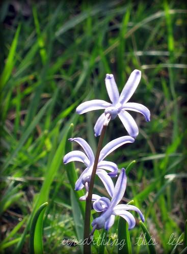 species hyacinth