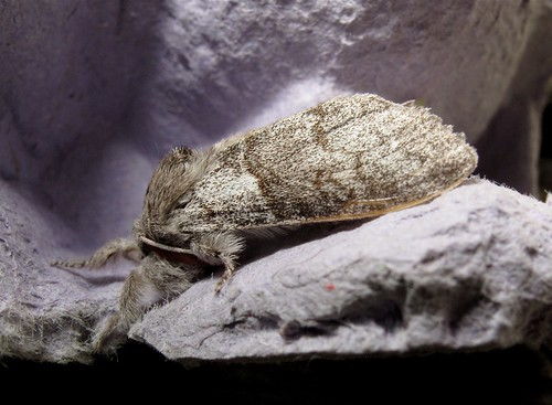 Pale Tussock - Roof Terrace
