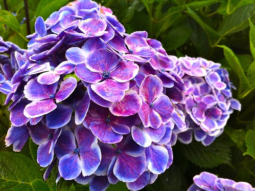 Purple Hydrangea with white edges