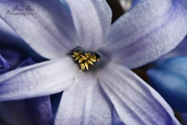 A single hyacinth blossom.