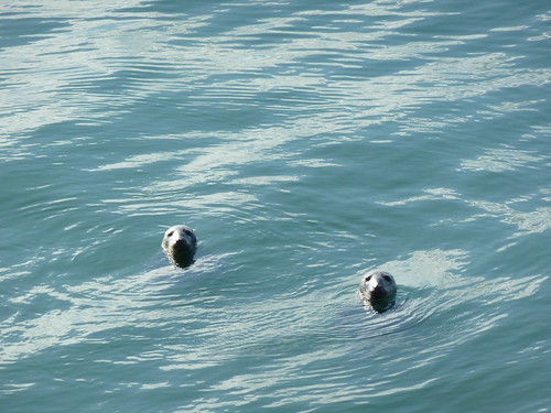 Seals in Dublin Bay at Dun Laoghaire pier 23 April