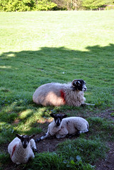 Sheep on the Dales