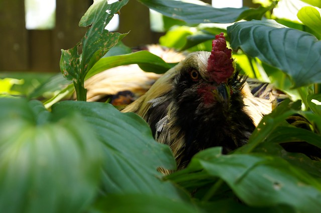 Guerilla Rooster