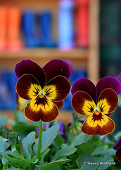 Pansies and Rainboots